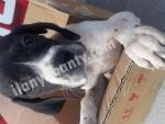 Av köpekleri üretim çiftliğinden pointer yavrular