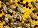 Kovanlı veya kovansız satılık arı