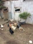 Satılık Köy Tavukları