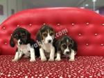 Club K9 Güvencesinde Beagle Yavruları
