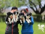Club K9 Güvencesinde Border Collie Yavruları