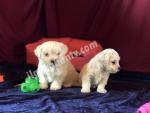 Club K9 Güvencesinde Maltese Terrier Yavruları