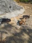 4 Tane tavşancı yavru av köpeği, 3 erkek, 1 dişi.